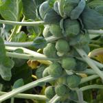 Mature brussels sprouts