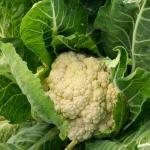 Mature cauliflower