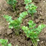 Celery seedlings