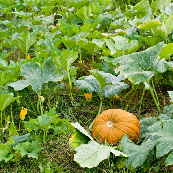 Growing pumpkin in new zealand cool mountain climate for Best pumpkins to grow