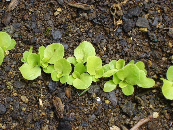 Growing lettuce in new zealand cool mountain climate - How to store lettuce from garden ...