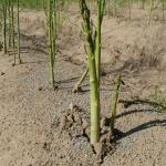 Asparagus growing