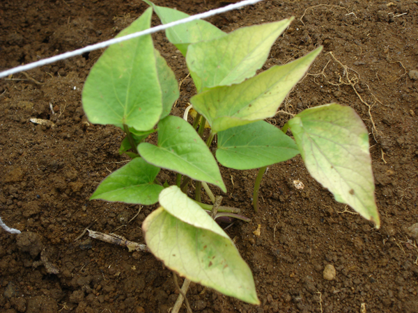 Compatible Garden Plants Vegetables